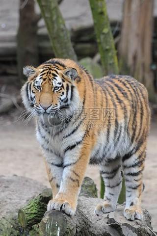 动物园里的老虎